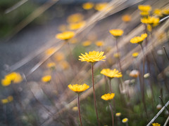 Spring forward (Vincent F Tsai) Tags: flowers spring springtime nature beauty yellow bloom light sun leaves grass bokeh dof bokehlicious minolta manual legacy adapted metabones speedbooster panasonic lumixgx8