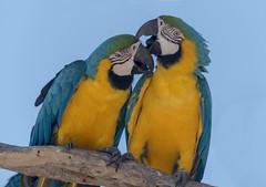 Sweet couple for life (PriscillaBurcher) Tags: araararauna blueandyellowmacaw blueandgoldmacaw parrot macaws guacamayoazulyamarillo guacamayoazulamarillo papagayoamarillo parabaazulamarillo loros guacamayos psittacidae aviarionacionaldecolombia cartagena colombia birdsofcolombia avesdecolombia l1340611