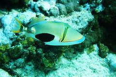 Picasso (Landersz) Tags: philippines filippine coron palawan club paradise snorkeling turtle shark clownfish nemo dugong landersz canon 5dmk3 nimar gopro hero5