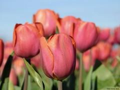 Tulips (Corine Bliek) Tags: bloemen flowers flowering bollen flowerbulbs lente voorjaar spring flowerbed easter goodfriday pasen goedevrijdag