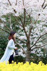 下松市下谷 菜の花畑 (YUTA58) Tags: japan 日本 山口県 下松市 桜 菜の花 canon eos80d
