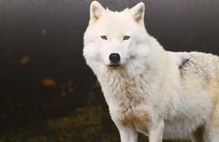 Wolf 🐺 (Studio5 Photography) Tags: lobo wolf blanco nieve alaska compañero primeroplano enfoque mirada