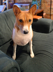 Scarlett O'Hara (tacosnachosburritos) Tags: sanctuary condo loft church home chicago west town basenji dog pet doggy style bitch barkless