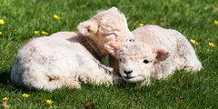 Twins (Keith in Exeter) Tags: twins lambs sheep young animal farm grass meadow field celandine resting outdoor devon england spring knightshayescourt nationaltrust cute sweet adorable pair two baby babies