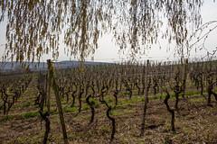 2017-04-01 Weinprobe 0469 (waltemi) Tags: 2017weinprobe thüngersheim weinstock bayern deutschland de