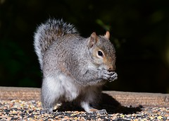 Grey Squirrel (gillybooze) Tags: ©allrightsreserved animal squirrel mammal outdoor rodent onblack bokeh dof