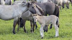 Oostvaardersplassen (Hans van der Boom) Tags: nederland netherlands ijsselmeerpolders flevopolder oostvaarderplassen animal horses wild herd konik horse young filly lelystad nl