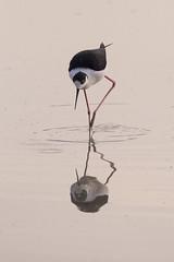 Curiosando... (Dalia-Nera) Tags: uccelli uccello cavaliereditalia birds birdwatching natura nature pianadisesto animalwildlife