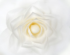 Camellia (marko.erman) Tags: camellia flower core white macro beautiful nature sony flowering evergreen shrub petals
