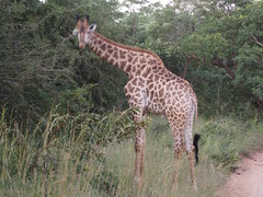 #MeetSouthAfrica : Trip to Kruger National Park & AM Lodge Wildlife Safari (Creativelena) Tags: africa southafrica travel world qatar qatarairways goingplacestogether adventure trip safari roadtrip culture nature park nationalpark bigfive animal game wildlife tour lion rhinoceros elephant leopard luxury lodge spa health massage food foodlover sunset krüger kruger moholoholo sanctuary buffalo wowsouthafrica meetsouthafrica outofafrica