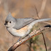 Tufted Titmouse [19/100]