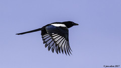 maggie may (blackfox wildlife and nature imaging) Tags: canon 7d 400mmf56 magpie bif wirral wildlife