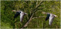 Synchro Pairs II (lukiassaikul) Tags: wildlifephotography wildanimals birds wildbirds largebirds goose geese greylaggoose uk fly flight wings birdsinflight urbanwildlife weststow naturereserve