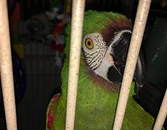 Prisoner of Love (BKHagar *Kim*) Tags: bkhagar brooks macaw severemacaw bars bird parrot green cage safe protected prisoneroflove