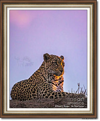 Leopard at Sunset, South Africa (Daryl L. Hunter - Hole Picture Photo Safaris) Tags: leopardatsunset southafrica africa wildlife bigcats sabisandswildliferefuge sunset