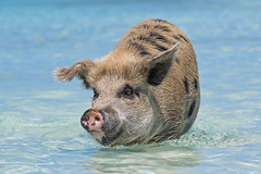 Another pic of the same sow (Tambako the Jaguar) Tags: female sow big portrait walking face funny pig swimming exuma cay cute sea beach bahamas island vacation nikon d5