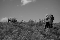 Elephants at the Fairy Glen reserve (emilienerot) Tags: afriquedusud southafrica africa capetown lecap summer été reserve safari éléphants elephants gamedrive fairyglen monochrome blackandwhite noiretblanc