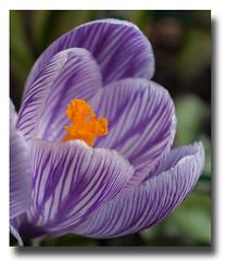 Couleur d'améthyste (sosivov) Tags: flower flowers macro crocus lilac violet gold sweden spring