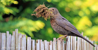 Common (or Eurasian) Blackbird (Turdus merula)