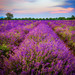 Lavender Memories