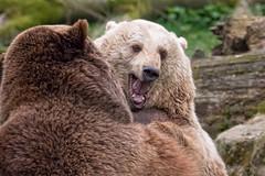 Die Braunbären Jule und Max beim Spielen (AchimOWL) Tags: natur nature animal tier tiere gh5 outdoor owl panasonic ngc lumix tierpark olderdissen bär bären braunbären braunbär brownbear bear