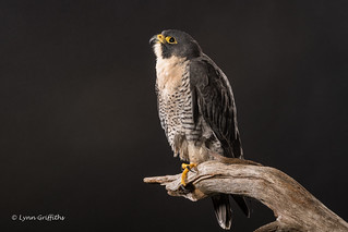 Peregrine Falcon - Oh to be free D50_4421.jpg