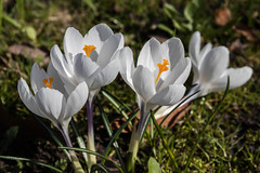Crocus (michael_hamburg69) Tags: hamburg germany deutschland krokus krokusse crocus white blossom blüte frühling spring kroketten formerlyknownaskrokanten