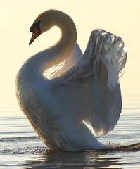 Swan (Nico Boersma) Tags: zwaan swan eernewoude friesland vogel bird