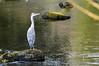 Llugwy Heron 2 (Lord Edam) Tags: river afon llugwy conwy wildlife morning water rocks fields birds heron
