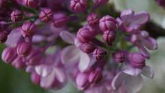 Joli lilas !!! (passionpapillon) Tags: fleurs flowers nature jardin lilas passionpapillon 2017 violet purple