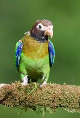 Brown-hooded Parrot (anacm.silva) Tags: brownhoodedparrot parrot papagaio ave bird wild wildlife nature natureza naturaleza birds aves bocatapada costarica pyriliahaematotis
