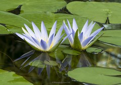 Blue Lotus of Egypt - Nymphaea Caerulea Waterlilies (Sharon Wills) Tags: adelaidebotanicgarden adelaide botanic gardens garden waterlily bluelotus blue lotus bluelotusofegypt egypt egyptian waterlilies water lily lilies pond reflection