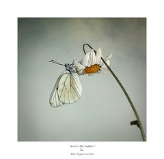 ................................... (.... belargcastel ....) Tags: mariposa butterfly aporiacrataegi aporia belargcastel belénargüesocastelos españa spain galicia macro texturas cielo sky blancadelmajuelo flor flower margarita