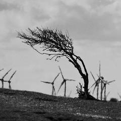 NºEY #3: Sturmtrotzend/ Storm defying [in explore] (Cydracor) Tags: tz71 panasonic lumix lumixpanasonictz71 insel wind nordsee norderney