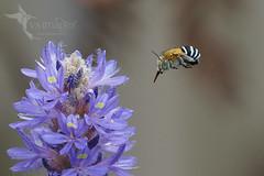 Blue-banded Bee (Vas Smilevski) Tags: bluebandedbee bee bees amegillacingulata insects australia nsw nature naturephotography ngc getolympus m43 vsimages vassmilevski olympusomdem1mkii mzuiko300mmf4pro omd em1mkii 300mm olympus olympusau australianinsects