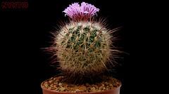 Echinofossulocactus zacatecasensis (Nyxtofulakas) Tags: echinofossulocactus zacatecasensis cactus succulent plant flower nature spines mexico multicostatus stenocactus