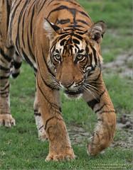 Royal Bengal Tiger (Raymond J Barlow) Tags: tiger india wildlife travel workshop phototours hunting workshops raymondbarlow june 2017 tour