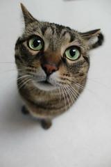 IMG_0741 (Lea Miller) Tags: ilobsterit cat pet