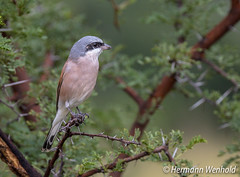 Red-backed Shrike (myphotos6503) Tags: r733 rooiruglaksman laksman redbacked shrike redbackedshrike