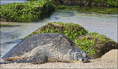 Sea Turtle_01 (Dave Kehs) Tags: sea turtle hawaii maui 2016 dave kehs bingham canon ocean waves water beach rocks