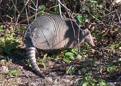 Nine-banded Long-nosed Armadillo or just Nine-banded Armadillo (cosmostyro) Tags: nature closeup critter tail profile theend blackpoint nwr mypix minwr 2nature onnwr oncritter