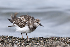 Arenaria interpres - Vuelvepiedras Rojizo - Ruddy Turnstone (Pericles Brea) Tags: bird dominicanrepublic charadriformes ruddyturnstone arenaria arenariainterpres repblicadominicana l16 scolopacidae p96 peravia playeroturco vuelvepiedrasrojizo pbx8480