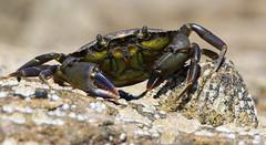Mine! (ajp~) Tags: macro nature canon scotland seaside wildlife crab limpet 6d rockpools eastlothian tyninghame canon100mmf28 alanjohnstone wwwalanjohnstonephotographycom