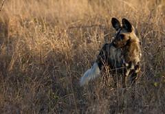 IMG_2669 (roger_the_dodger) Tags: southafrica wildlife hunting safari sabi sands krugernationalpark kruger wilddog simbambili