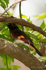 """American Redstart"" ""Paruline flamboyante"" (rejeanjdeschenes) Tags: bird nature lakeerie pointpelee oiseaux americanredstart parulineflamboyante lacérié pointepele"