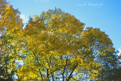 Blue and Gold (Cat B Photography) Tags: autumn trees fall nature colors yellow gold golden longisland coloredleaves blueandgold myfrontyard fortsalonga