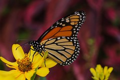 On Yellow Flowers 1 (brev99) Tags: flowers yellow butterfly nik willowwoodarboretum viveza sigma70mm28macro photoshopelements12
