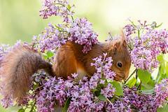 surrounded by flowers (Geert Weggen) Tags: red white plant flower green nature animal mammal rodent moss bed squirrel violet geert perennial weggen ilobsterit hardeko