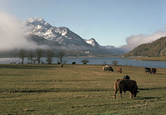 Lake Silvaplana (miloniro) Tags: lake film analog schweiz switzerland cows kodak portra largeformat engadin swissalps silvaplana 5x7 lakesilvaplana graubünden grisons portra160 kodakportra160 silvaplanersee grossformat pizdalamargna fujinonc300mmf85 lejdasilvaplauna chamonix057n1 057n1