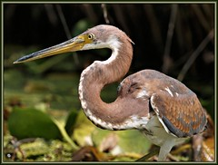 The Look (WanaM3) Tags: park portrait bird heron nature texas wildlife sony ngc bayou pasadena canoeing paddling juvenile tricoloredheron a57 tricolored bayareapark clearlakecity armandbayou avianexcellence wanam3 sonya57